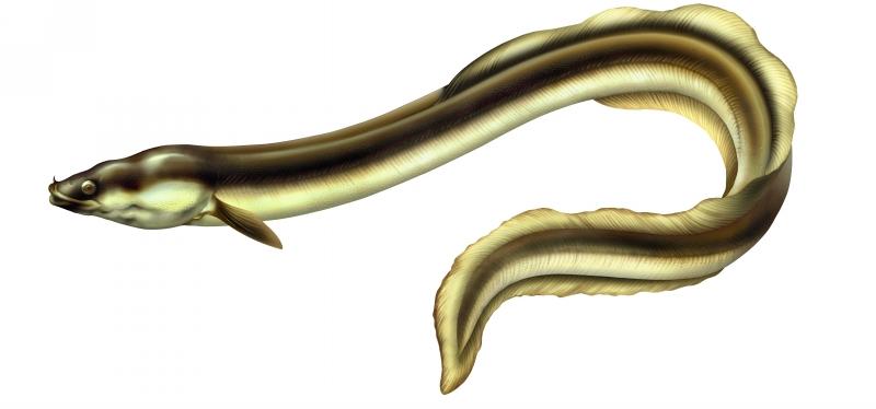 anguille-jpg