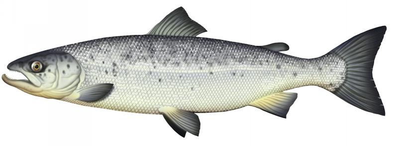 saumon-atlantique-jpg