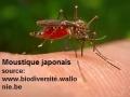 Moustique japonais